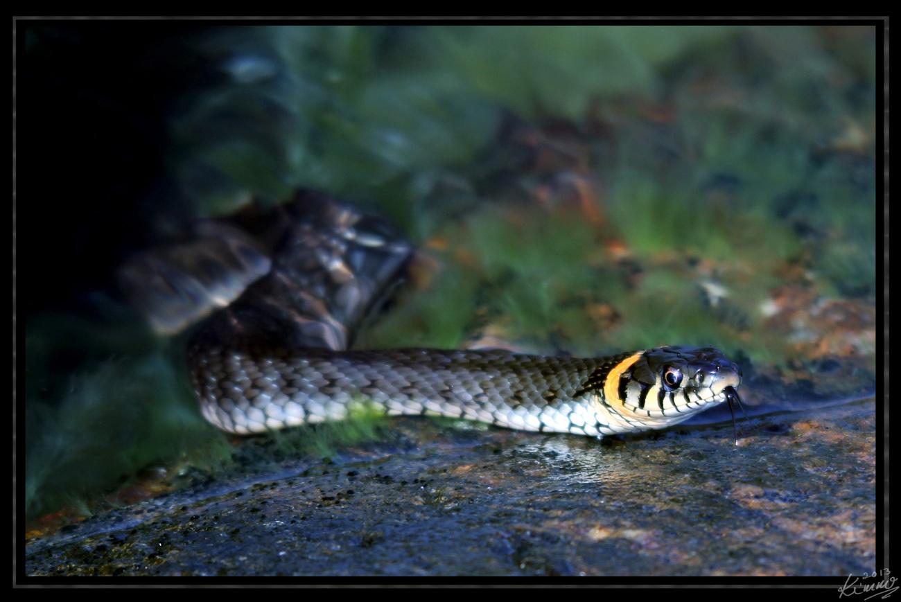 rantakäärme